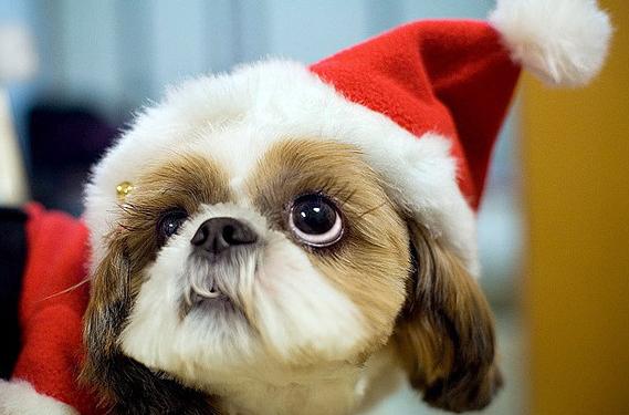 Christmas Puppy Dog Eyes