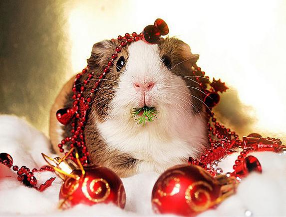 Christmas guinneapig