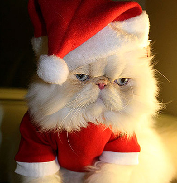 Christmas Persian Cat
